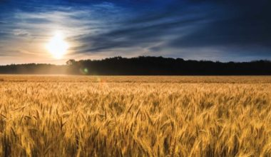 Turkey Red Wheat and its Benefits